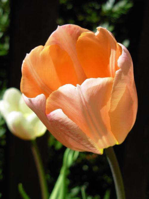 tulip-apricot3