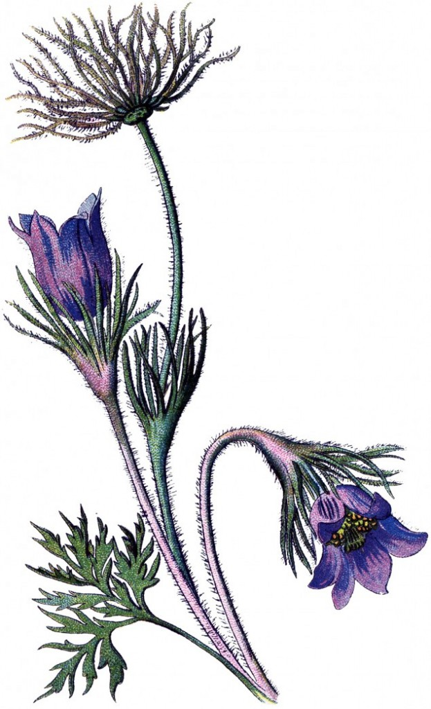 Wind Flower, Pulsatilla vulgaris, always laugh's at the cold!