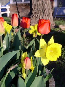 Tulips and Daffodils in our demonstration bed